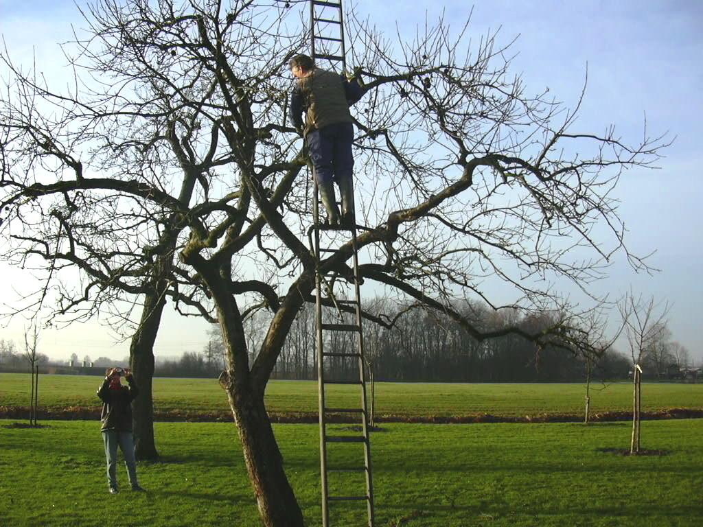 Hoogstamfruitboom wordt vakkundig gesnoeid