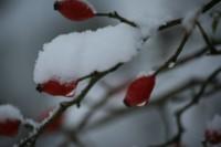 mijn tuingeheim afbeelding rozenbottel met sneeuw