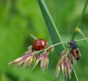 Lieverheersbeestje en zijn larve op grashalm