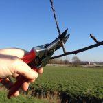 snoeien van fruitbomen in de winter