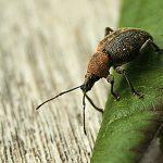 Taxuskever op Rhodoblad (2)