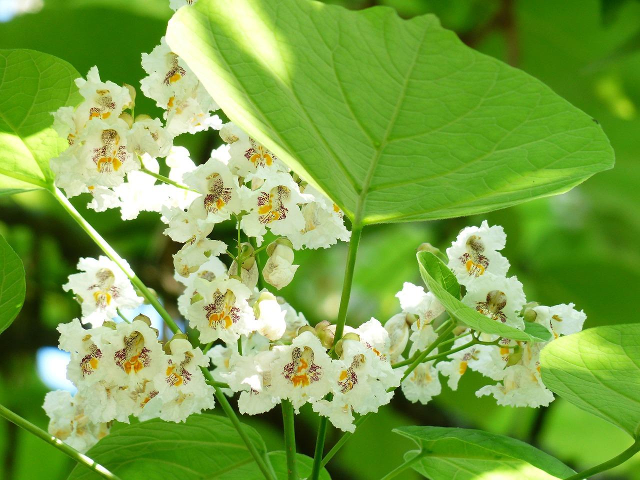 catalpa bloem en blad tuincursus online