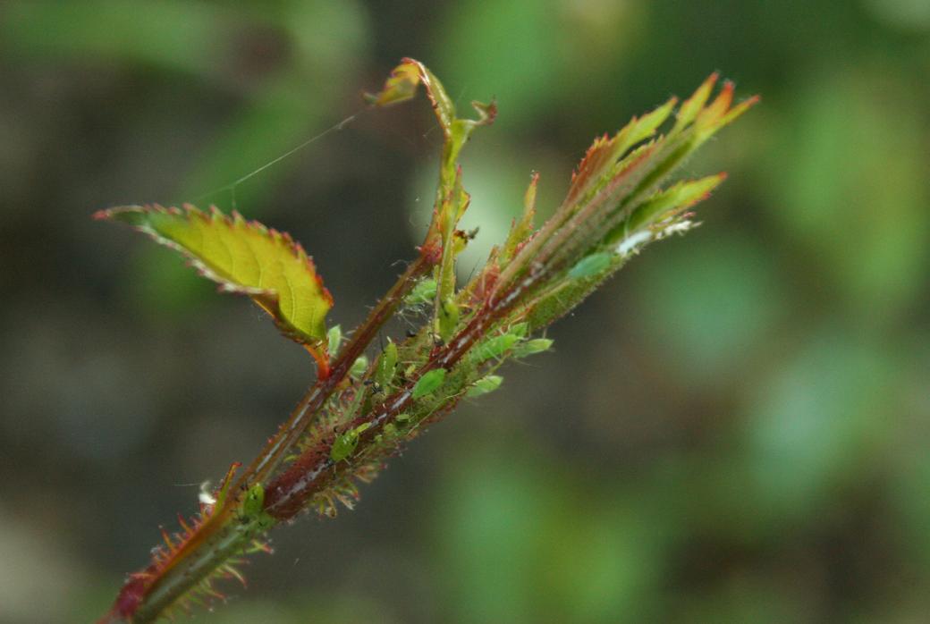 rozentop met bladluis tuincursus online