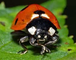 lieveheersbeestje eet bladluis tuincursus online